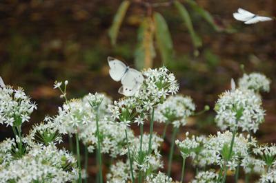 モンシロチョウとニラの花
